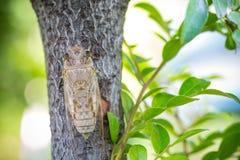 Cicada προσκολλάται στο δέντρο το καλοκαίρι της Ταϊλάνδης Στοκ Φωτογραφία