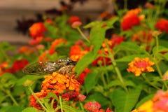 Cicada σε ένα συμπαθητικό λουλούδι στη δροσιά Στοκ Φωτογραφία