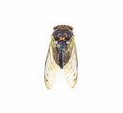 Cicada σκελετική δομή φτερών Στοκ φωτογραφία με δικαίωμα ελεύθερης χρήσης