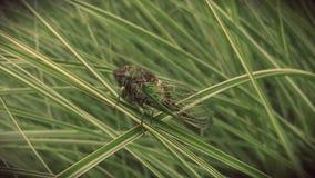 Cicada στη μακριά χλόη Στοκ Εικόνες