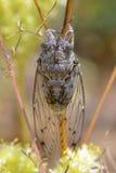 Cicada στο μίσχο Στοκ Φωτογραφία