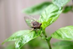 Cicada στο φύλλο βασιλικού Στοκ εικόνες με δικαίωμα ελεύθερης χρήσης