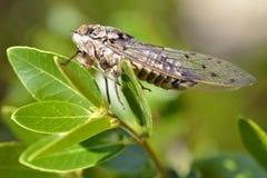 Cicada στο φύλλο Στοκ φωτογραφίες με δικαίωμα ελεύθερης χρήσης