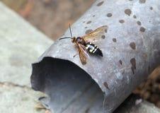Cicada σφήκα δολοφόνων Στοκ Εικόνες