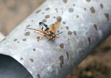 Cicada σφήκα δολοφόνων στοκ φωτογραφίες