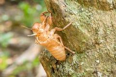 Cicada του Slough Στοκ εικόνες με δικαίωμα ελεύθερης χρήσης