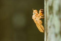 Cicada του Slough Στοκ φωτογραφία με δικαίωμα ελεύθερης χρήσης