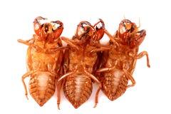 Cicada υποχώρηση, cicada ιματισμός, slough εντόμων, cicada κοχύλι στοκ εικόνα με δικαίωμα ελεύθερης χρήσης