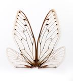 cicada φτερά Στοκ Εικόνες