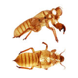 Cicada φλοιός που απομονώνεται στο άσπρο υπόβαθρο στοκ φωτογραφίες