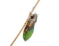 Free Cicada 1 Royalty Free Stock Photos - 10338128