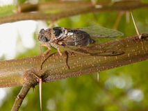 Cicada. Side view of a cicada singing on bole Royalty Free Stock Photos