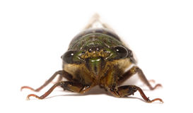 Cicada. Close up, shot in Costa Rica Stock Photo