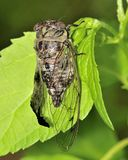 Cicada. A cicada perched on a plant leaf molting Royalty Free Stock Photography