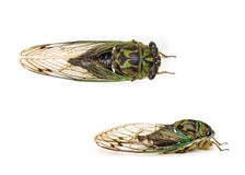Cicada. Isolated on white background Stock Images