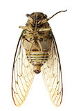 Cicada Royalty Free Stock Images