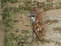 Cicada. Detail of a cicada siting on the tree stem Stock Image