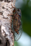 The cicada Royalty Free Stock Photography