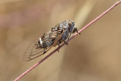 Cicada. Macro of a cicada resting Stock Photography