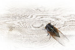 The cicada Royalty Free Stock Images