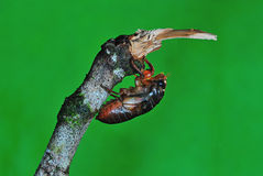 Cicada. First emerged and stay on branches stock photography