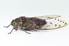 Cicada Royalty Free Stock Photos