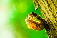 Cicada. (Cicadidae) exoskeleton clinging to a tree Stock Images