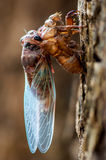 Cicada. (Hemiptera: Cicadidae) changing its skin Stock Photo