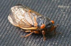 Cicada Στοκ Εικόνες