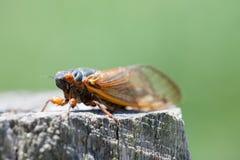 Cicada Στοκ φωτογραφίες με δικαίωμα ελεύθερης χρήσης