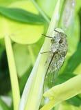 Cicada σε ένα δέντρο Στοκ εικόνες με δικαίωμα ελεύθερης χρήσης