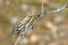 Free Cicada Royalty Free Stock Photography - 41925937