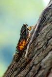 Cicada_1 Photographie stock libre de droits