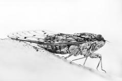 Cicada Στοκ φωτογραφία με δικαίωμα ελεύθερης χρήσης