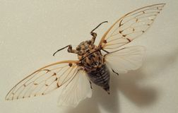 Cicada. Bug mounted on a board Royalty Free Stock Photo