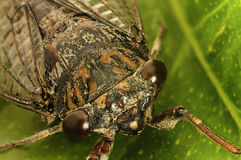Cicada Stock Photography