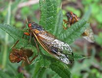 Cicada. Moulting Royalty Free Stock Images