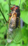 Cicada. Newly-hatched cicada on plant stem Royalty Free Stock Photos