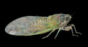 Cicada 8 Στοκ Εικόνες