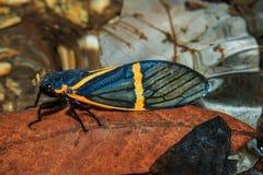 Cicada (becquartina electa) insect. Nature-Cicada in Doi Inthanon National Park. Thailand Royalty Free Stock Photography