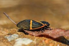Cicada (becquartina electa) insect Royalty Free Stock Photos