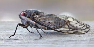 Cicada Black Prince Stock Photography