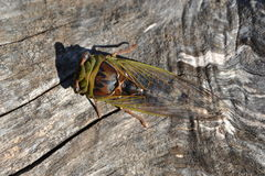 Cicada on a bleached wood background. Green and brown cicada on a bleached out wood background royalty free stock image