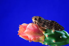 Cicada  on blue background Royalty Free Stock Images