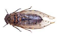 Cicada Bug Royalty Free Stock Photography