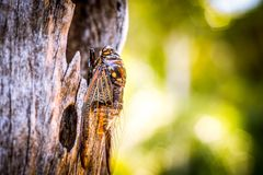 Cicada Bug. Cicada insect. Cicada stick on tree at the park of thailand Tremendous musical abilities of cicada. Insect sings beautifully and prefers a warm royalty free stock photography
