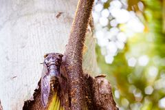 Cicada Bug. Cicada insect. Cicada stick on tree at the park of thailand Tremendous musical abilities of cicada. Insect sings beautifully and prefers a warm stock photography