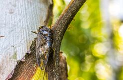 Cicada Bug. Cicada insect. Cicada stick on tree at the park of thailand Tremendous musical abilities of cicada. Insect sings beautifully and prefers a warm royalty free stock photos