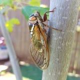 Cicada, Bush Cicada, Grand Western Cicada, Giant Grassland Cicada Stock Images