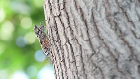 Cicada camouflaged on an olive tree stock video